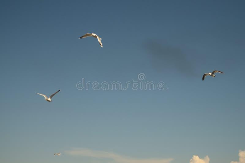 Vuelo de la gaviota en el cielo azul alas spreded anchas Libertad en vuelo P?jaro de vuelo imagenes de archivo