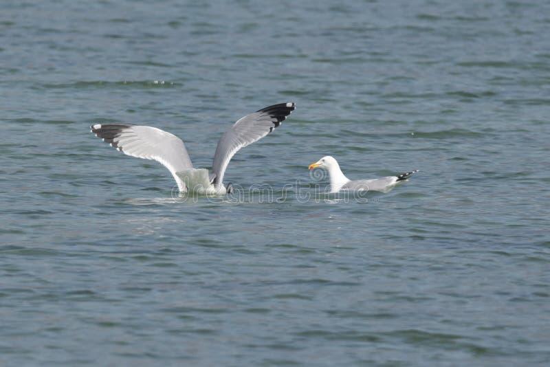 Vuelo de la gaviota en el lago imagen de archivo