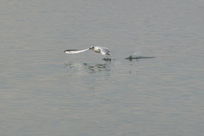 Vuelo de la gaviota en el lago imagen de archivo libre de regalías