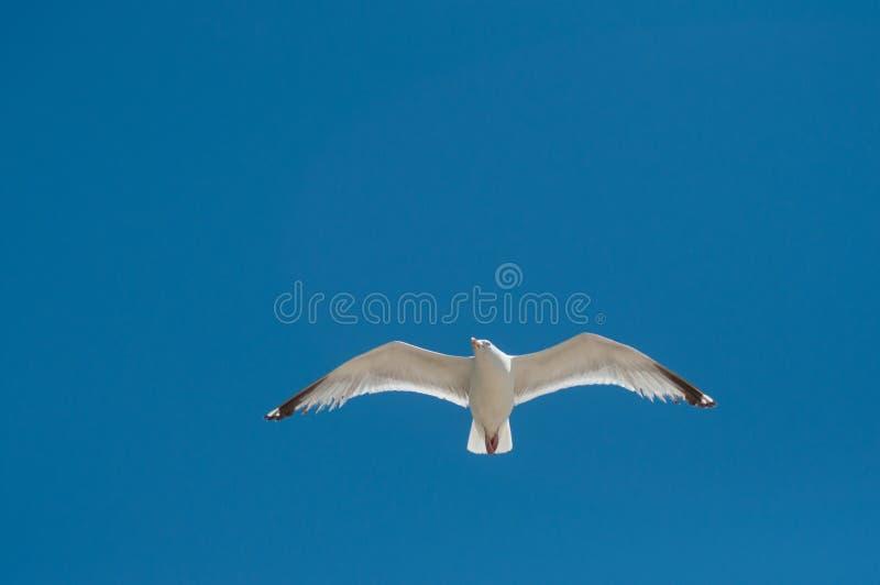 Vuelo de la gaviota en fondo del cielo azul imágenes de archivo libres de regalías
