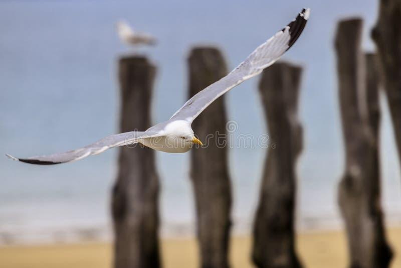 Vuelo de la gaviota en la playa foto de archivo