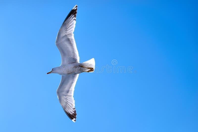 Vuelo de la gaviota en un cielo azul profundo con las alas separadas foto de archivo