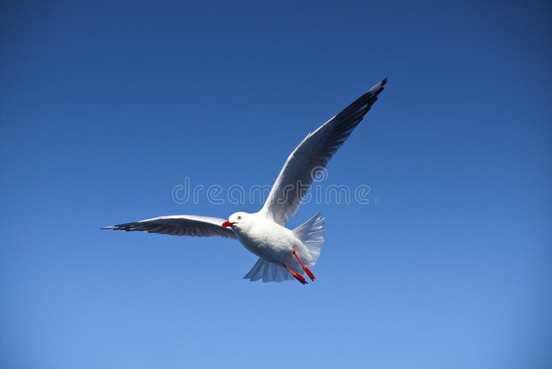 Vuelo de la gaviota, vuelo del pájaro de mar a través del cielo azul foto de archivo libre de regalías