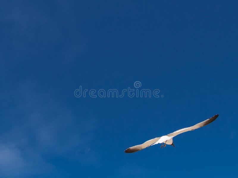 Vuelo de la gaviota y cielo azul fotos de archivo