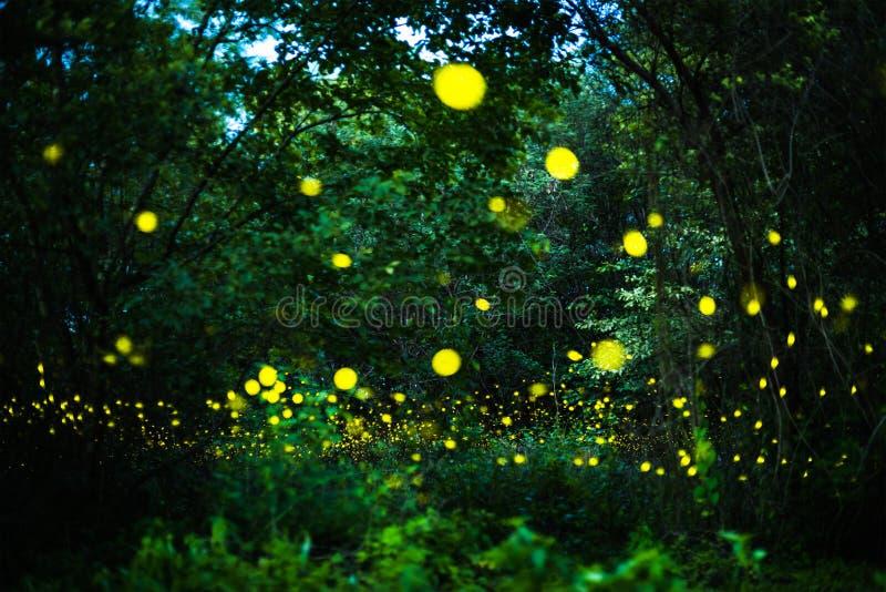 Vuelo de la luciérnaga en el bosque de la noche imagen de archivo libre de regalías