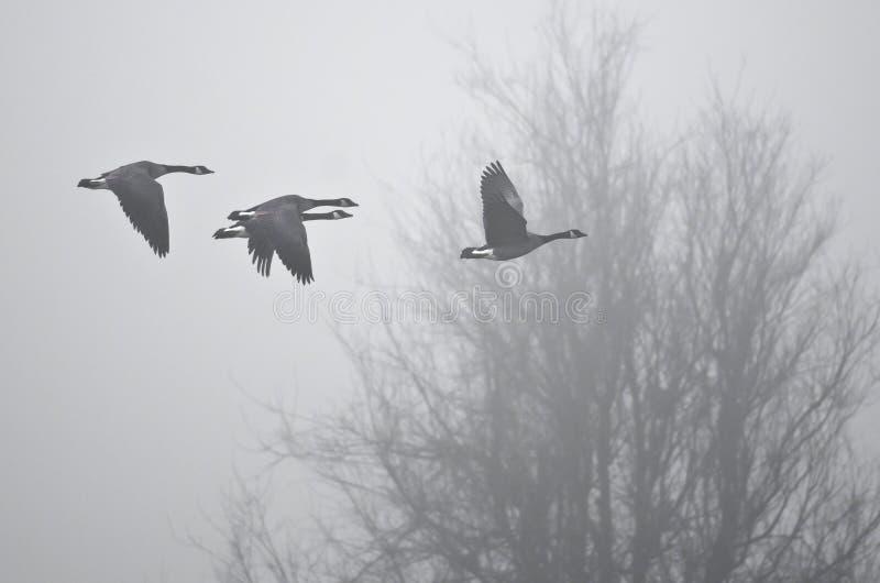 Vuelo de la madrugada de los gansos de Canadá que vuelan sobre pantano de niebla imágenes de archivo libres de regalías