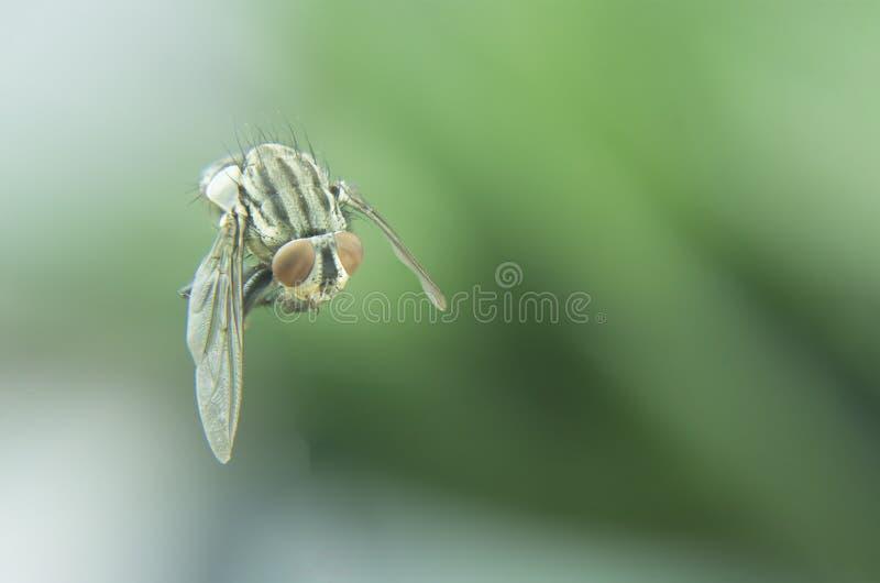Vuelo de la mosca negra en hogar foto de archivo libre de regalías