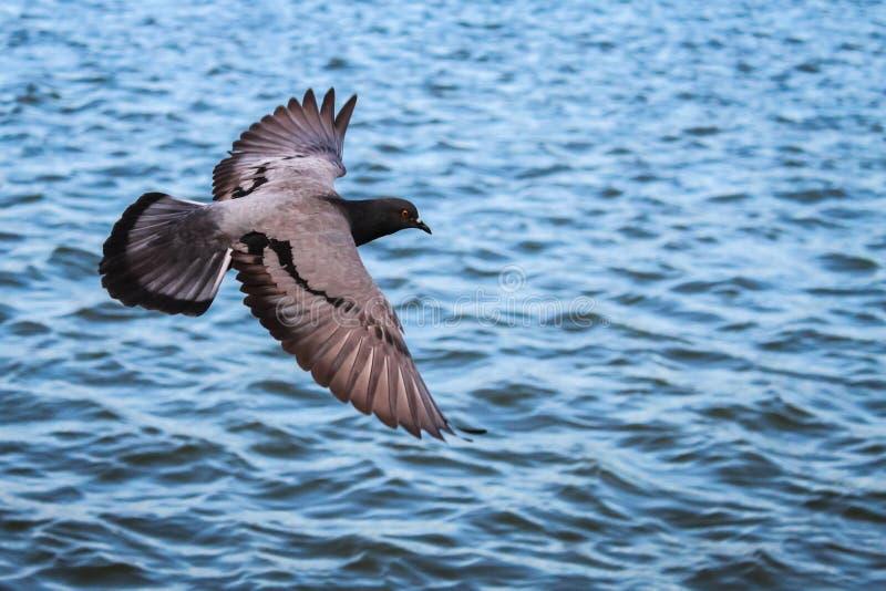 Vuelo de la paloma sobre el agua, con la trayectoria de recortes foto de archivo
