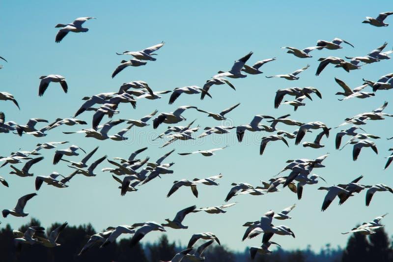 Vuelo de los gansos de nieve siberianos foto de archivo