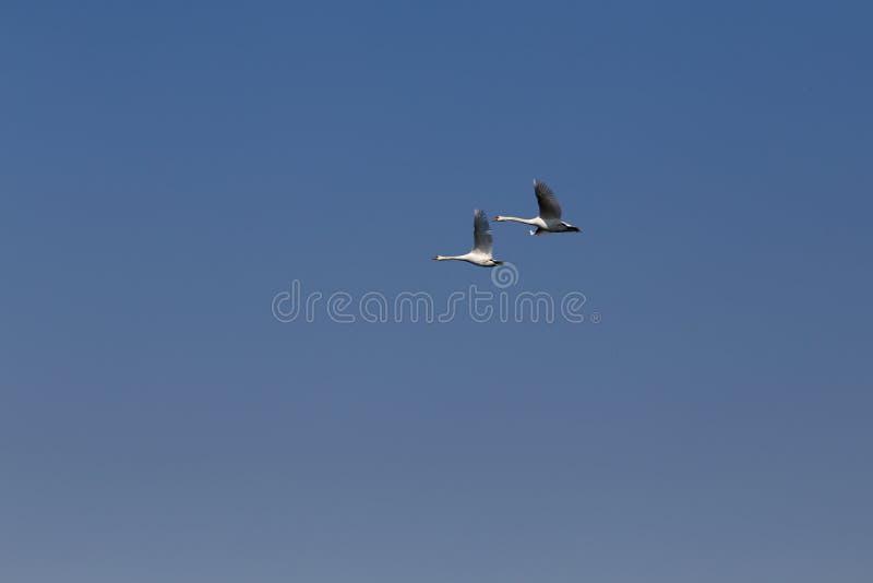 Vuelo de los pares del cisne en la migración de los cisnes del cielo azul fotografía de archivo libre de regalías