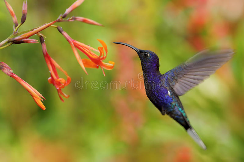 Vuelo de Violet Sabrewing del colibrí al lado de la flor anaranjada hermosa, jardín de flores borroso en el fondo, La Paz, Costa  imagen de archivo libre de regalías
