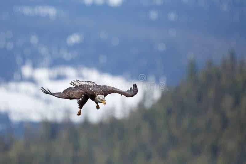 Download Vuelo del águila calva foto de archivo. Imagen de extensión - 41907258