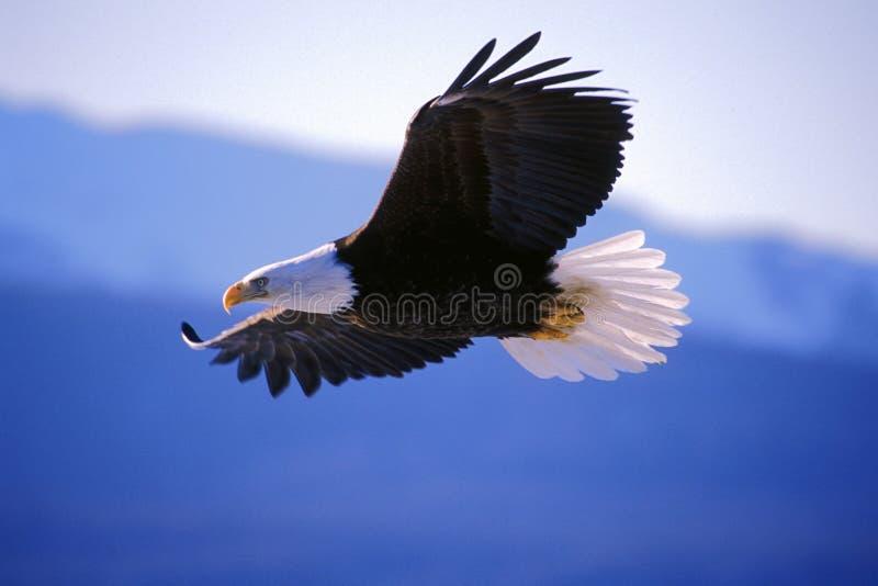 Vuelo del águila calva imagen de archivo libre de regalías