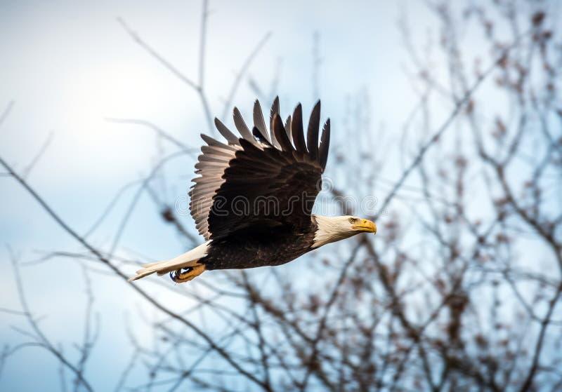 Vuelo del águila calva fotos de archivo libres de regalías