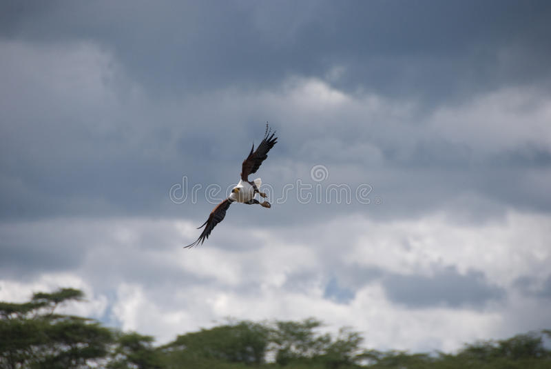 Vuelo del águila de pescados imágenes de archivo libres de regalías