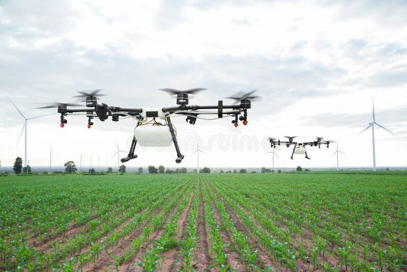 Vuelo del abejón de la agricultura en el campo de maíz verde imagen de archivo libre de regalías