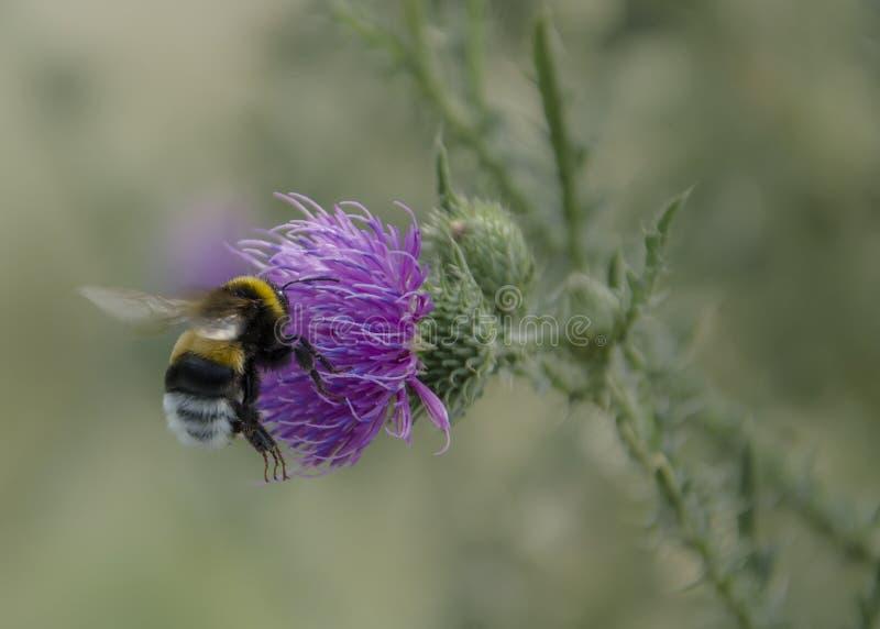 Vuelo del abejorro sobre la flor fotos de archivo