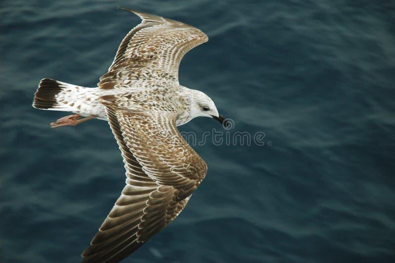 Vuelo del albatros sobre el mar foto de archivo libre de regalías