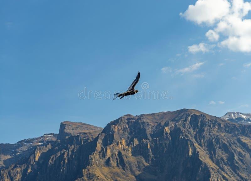 Vuelo del cóndor de los Andes, Arequipa, Perú fotografía de archivo