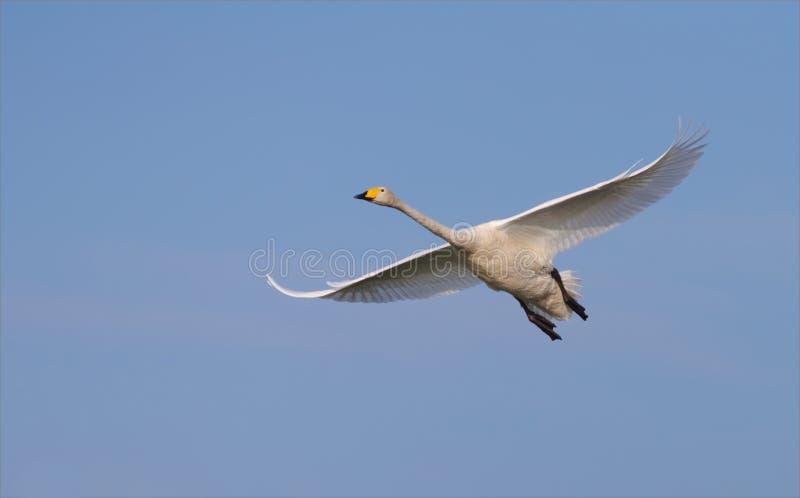 Vuelo del cisne de Whooper sobre el cielo azul imágenes de archivo libres de regalías
