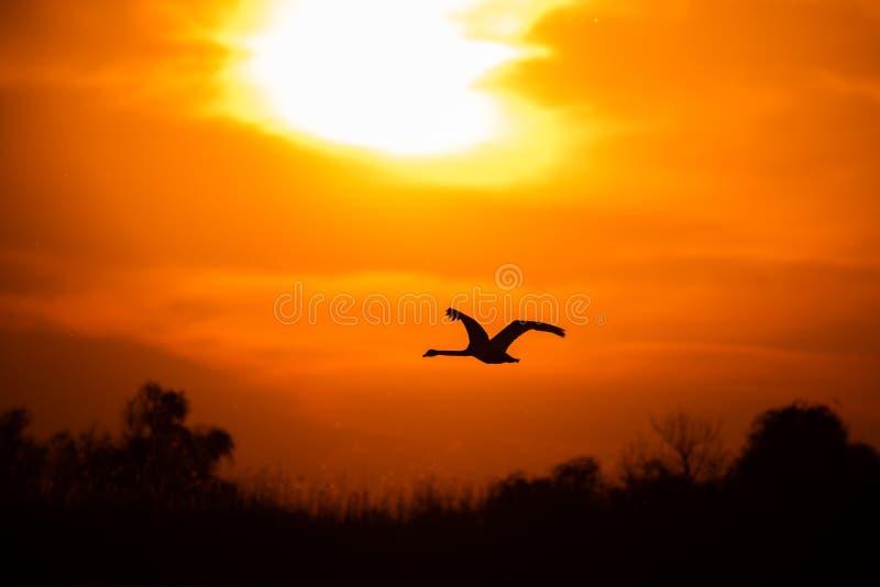 Vuelo del cisne en la puesta del sol en el delta de Danubio, observación de pájaros de la fauna de Rumania foto de archivo