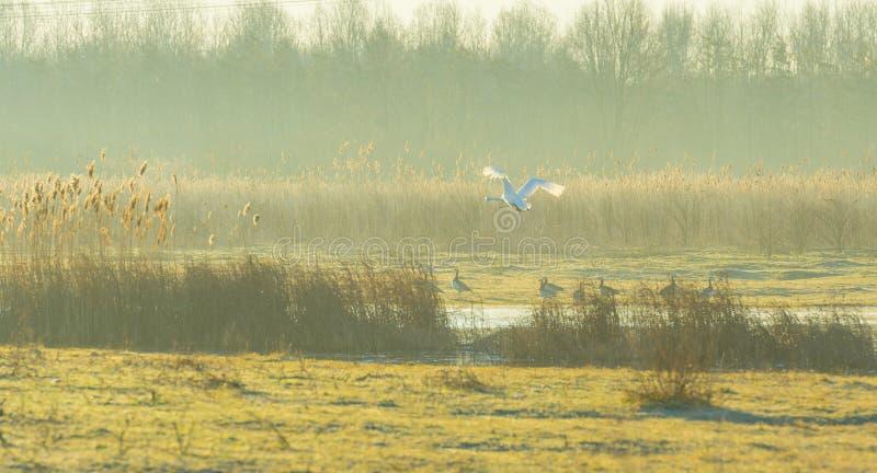 Vuelo del cisne sobre la orilla de un lago en luz del sol en la salida del sol fotos de archivo