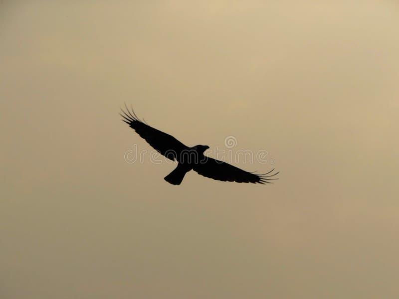 Vuelo del cuervo en cielo nublado después de la tormenta del polvo que causa color polvoriento con las alas abiertas de par en pa imagen de archivo libre de regalías