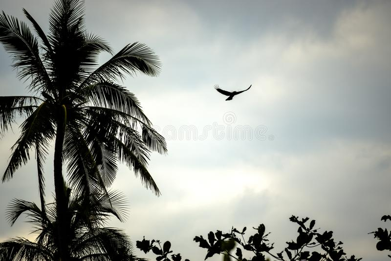 Vuelo del cuervo en paisaje de la palmera fotografía de archivo