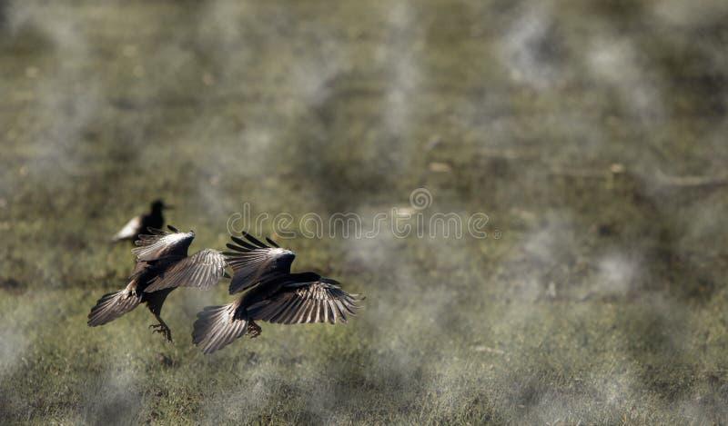 Vuelo del cuervo sobre la nube en un día de niebla foto de archivo