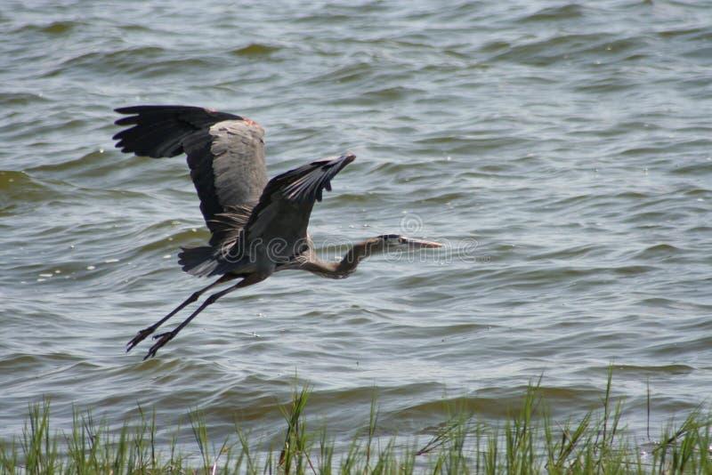 Vuelo del Egret fotografía de archivo