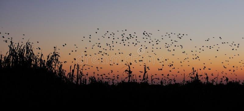 Vuelo del enjambre del quelea de Redbilled en el cielo de la puesta del sol foto de archivo libre de regalías