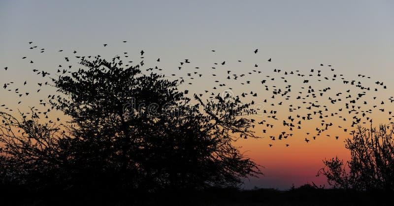 Vuelo del enjambre del quelea de Redbilled en el cielo de la puesta del sol imagen de archivo libre de regalías