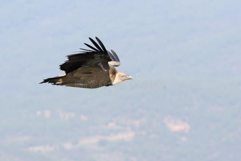 Vuelo del fulvus de Griffon Vulture Gyps foto de archivo