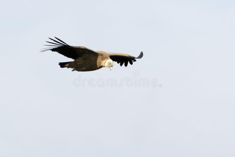 Vuelo del fulvus de Griffon Vulture Gyps fotografía de archivo