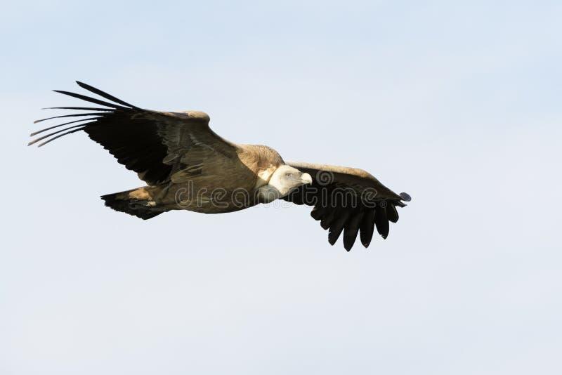 Vuelo del fulvus de Griffon Vulture Gyps fotografía de archivo libre de regalías
