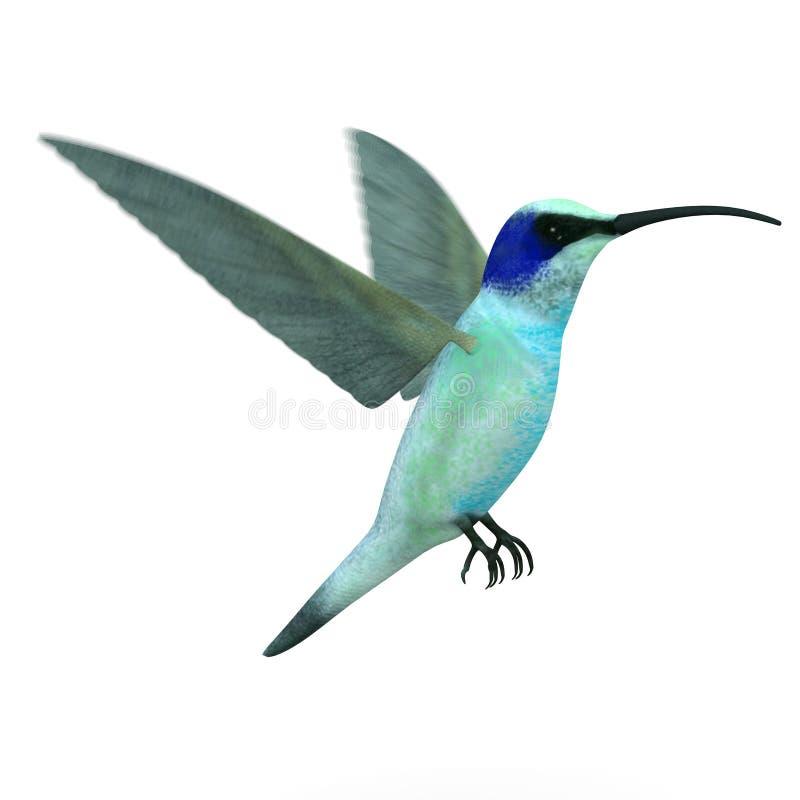 Vuelo del pájaro de Colibri (alas enmascaradas) libre illustration