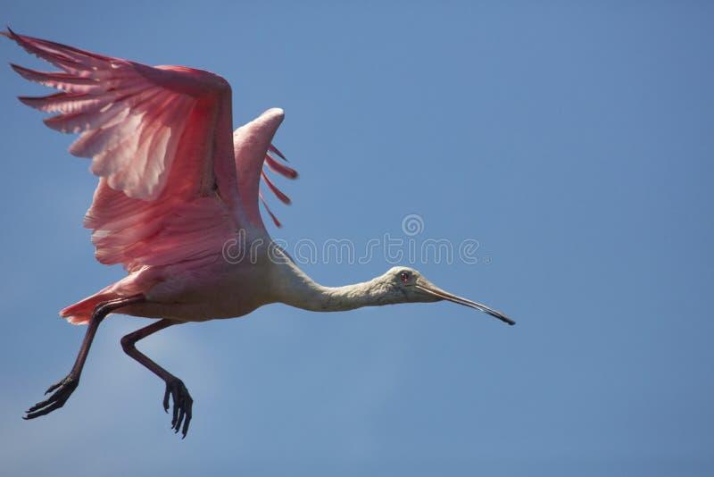 Vuelo del spoonbill rosado sobre un pantano en St Augustine, la Florida imágenes de archivo libres de regalías