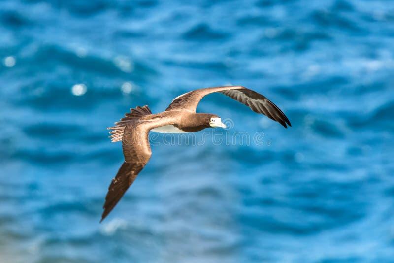 Vuelo enmascarado del dactylatra del Sula del bobo sobre el Océano Atlántico cerca de la isla de Trinidad y Tobago en el mar cari fotografía de archivo