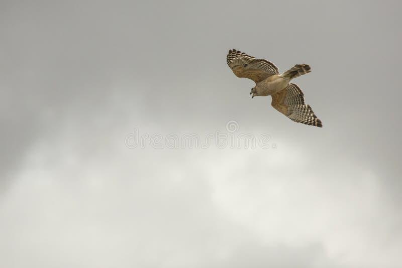 Vuelo llevado a hombros rojo del halcón en un cielo nublado en la Florida imagen de archivo