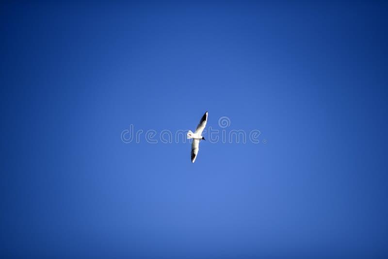 Vuelo mediterráneo de la gaviota en el cielo azul imagen de archivo