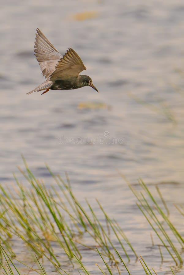 Vuelo negro de la golondrina de mar y búsqueda en un día ventoso nublado en el área de la fauna de los prados del Crex en Wiscons fotos de archivo libres de regalías