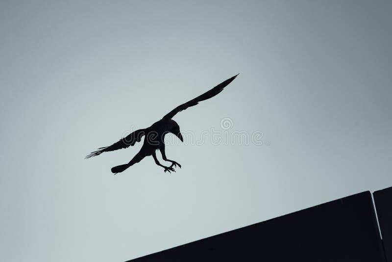 Vuelo negro del cuervo debajo del cielo azul foto de archivo