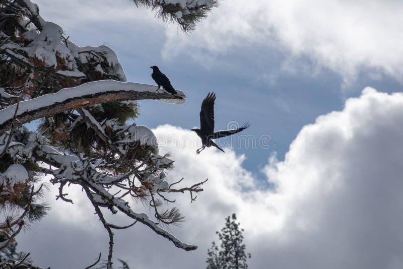 Vuelo negro del pájaro fotografía de archivo