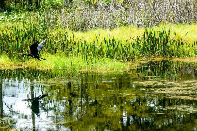 Vuelo negro del pájaro fotos de archivo