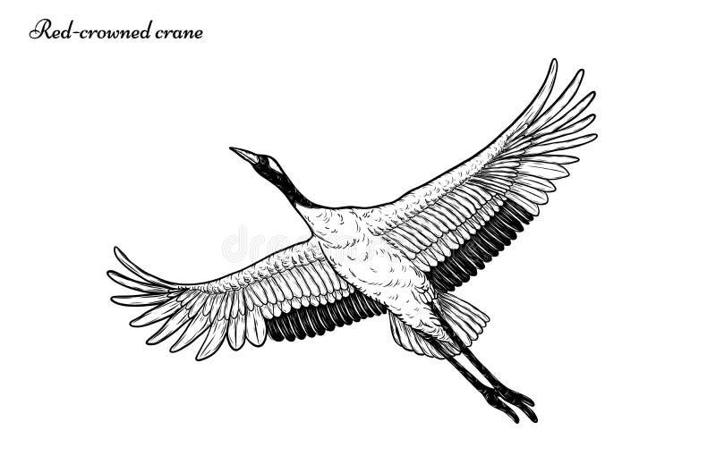 vuelo Rojo-coronado del vector de la grúa que dibuja a mano ilustración del vector