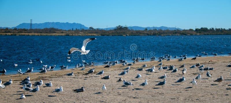 Vuelo solitario de la gaviota sobre la multitud de las gaviotas [Laridae] en el pantano de la boca del río Santa Clara del parque imagen de archivo