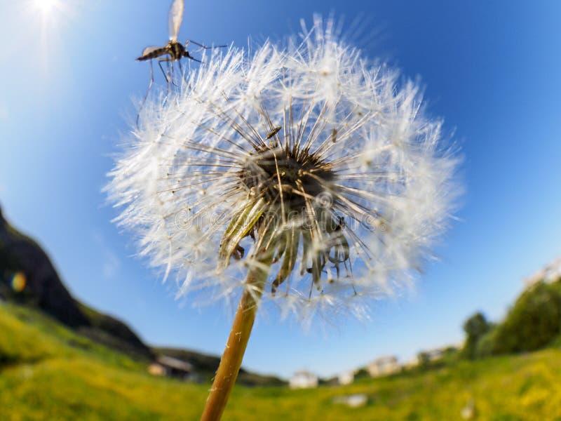 Vuelo suave apacible airoso del diente de león en el viento en la luz del sol de la mañana Imagen artística soñadora romántica fotos de archivo libres de regalías