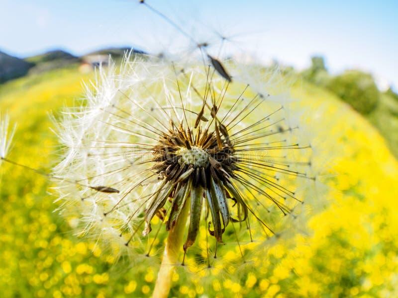 Vuelo suave apacible airoso del diente de león en el viento en la luz del sol de la mañana Imagen artística soñadora romántica fotos de archivo