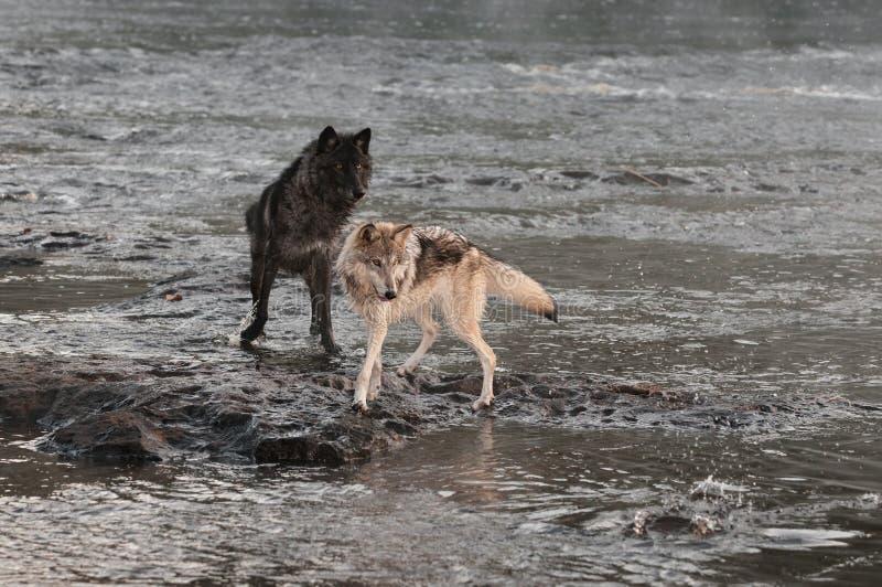 Vuelta de Grey Wolves (lupus de Canis) para mirar el chapoteo fotografía de archivo