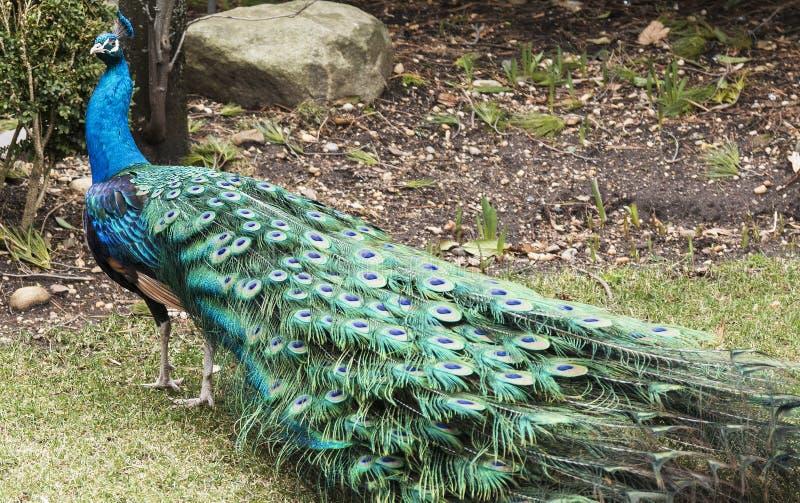 Vueltas y miradas del pavo real en la cámara fotos de archivo